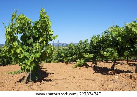 Vineyard in Paniza, Zaragoza province, Aragon, Spain - stock photo