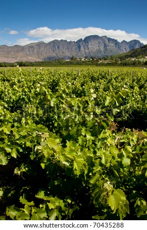 Vineyard in South Africa - stock photo