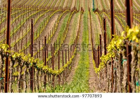 Vineyard in Spring - stock photo