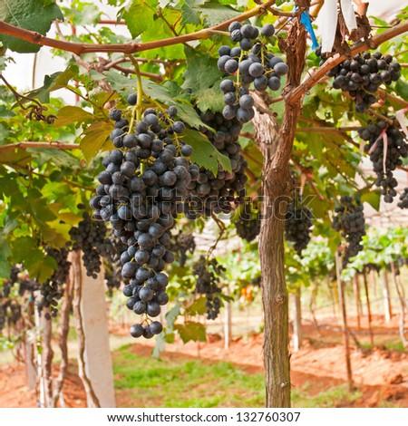 Vineyard in Thailand - stock photo