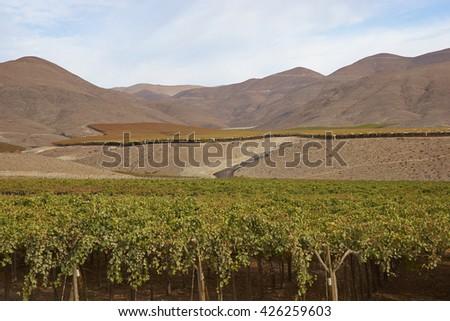 Vineyard in the Atacama Desert, Copiapo, Chile - stock photo