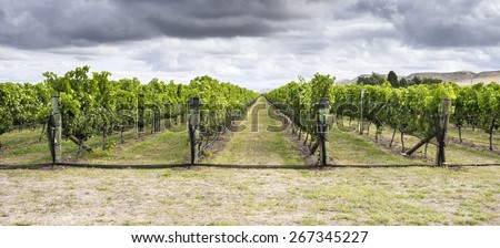 Vineyard in the autumn with ripe red grapes ready for harvest, under a stormy sky - stock photo