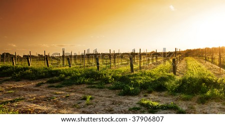 Vineyard in the Barossa Valley - stock photo