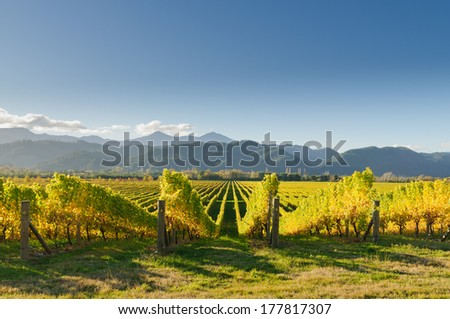 Vineyard in the Marlborough district of New Zealand at sunset - stock photo