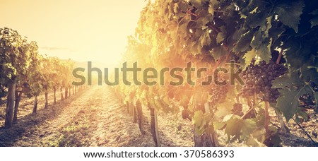 Vineyard in Tuscany, Italy. Wine farm at sunset in vintage style. Ripe grapes - stock photo
