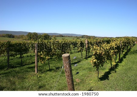 Vineyard in Virginia. - stock photo