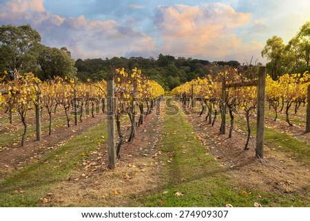 Vineyard in Yarra Valley, Victoria, Australia in autumn - stock photo