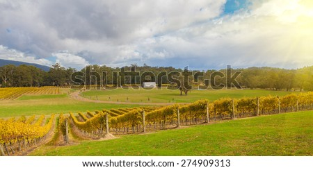 Vineyard in Yarra Valley, Victoria, Australia in autumn Australia at sunset - stock photo