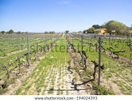 Vineyard near Barcelona - stock photo