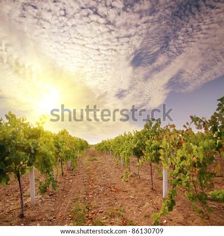 vineyard on sunset - stock photo
