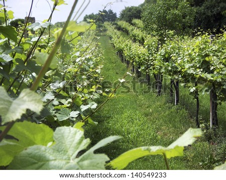 vineyard on the hills of Veneto, Italy  - stock photo