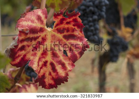 vineyard: red leaf and red grapes background - stock photo