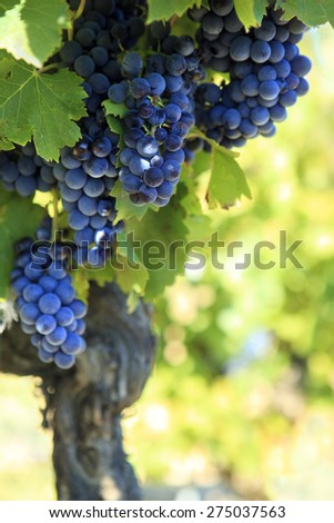 Vineyard, red wine grapes, France, copy space - stock photo