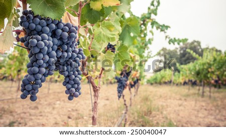 Vineyard scene with ripe red wine grapes on vine in foreground - stock photo