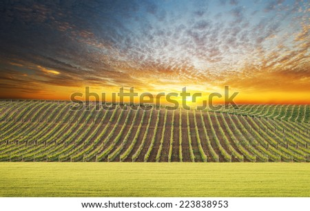 Vineyard summer landscape, bright sunset at the valley of grapes, agricultural industry at harvest season - stock photo