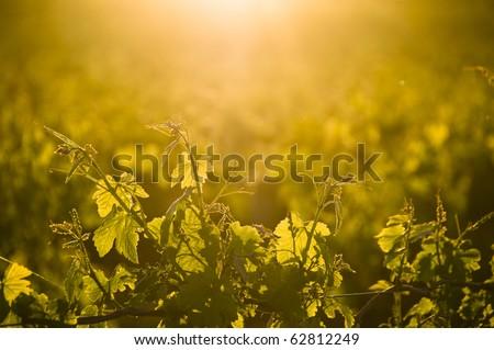 Vineyard Vines Sunset - stock photo