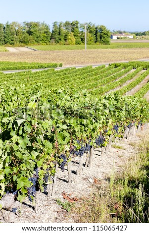 vineyard with blue grapes in Bordeaux Region, Aquitaine, France - stock photo