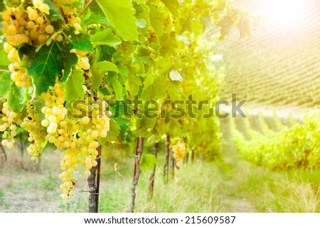 Vineyard with grapes at sunset - stock photo