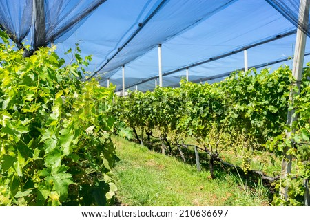 Vineyard with modern system for irrigation and nets against hail. - stock photo