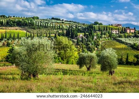 Vineyards  amd olive trees in Tuscany - stock photo