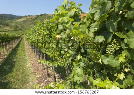 Vineyards and hills of Wachau area, Austria - stock photo