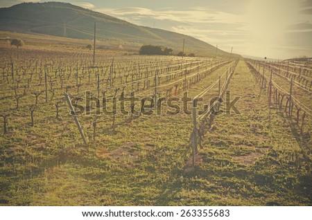 Vineyards at sunset - stock photo