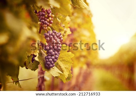 Vineyards at sunset in autumn harvest. Ripe grapes in fall. Toned - stock photo