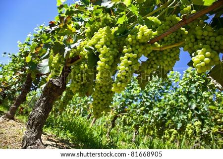 Vineyards, grape harvest in Piedmont, Italy - stock photo