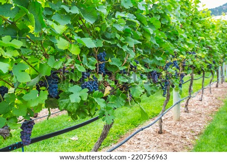 Vineyards in rows - stock photo
