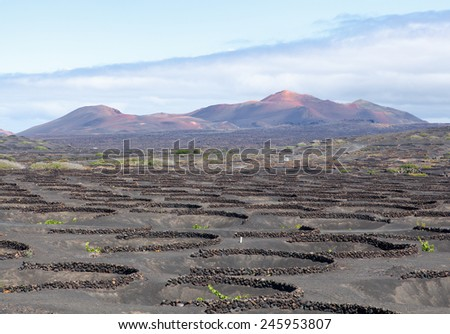 Vineyards in volcanic landscape of Lanzarote island, one of Canary islands.  - stock photo