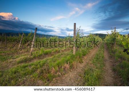 Vineyards Motovun, Croatia  - stock photo
