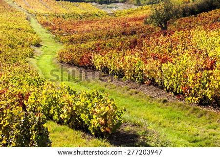 vineyards of Beaujolais, Rhone-Alpes, France - stock photo