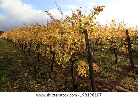 Vineyards of Groot Constantia  Wine Estate, South Africa in autumn. Leaves in a vineyard turning yellow against dark clouds in the background. - stock photo