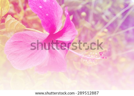 vintage and blurry of Hibiscus flower or Hibiscus syriacus L and Queen of Tropic Flower  - stock photo