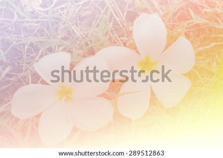 vintage and blurry of purity of white Plumeria or Frangipani flowers - stock photo