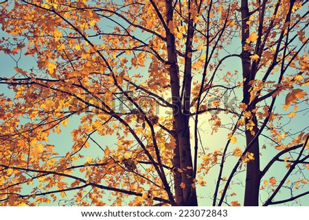 Vintage autumn maple - stock photo