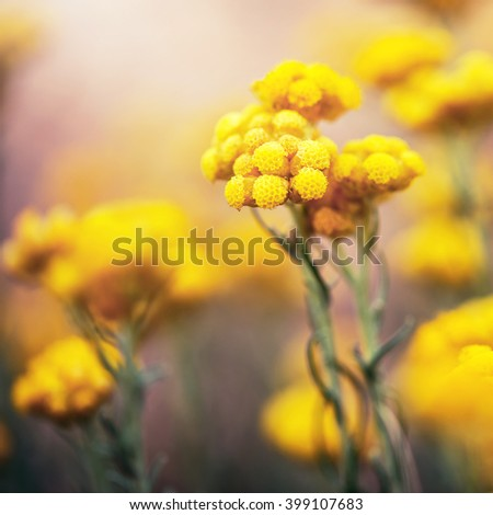 vintage big yellow soft meadow wild plants on bright colorful background in spring field. Sunny outdoor macro photo of beautiful flowers - stock photo