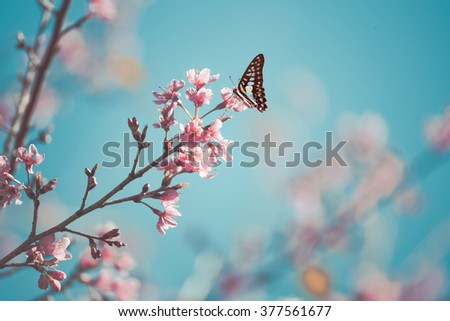 Vintage Cherry blossom in wild and butterfly. - stock photo
