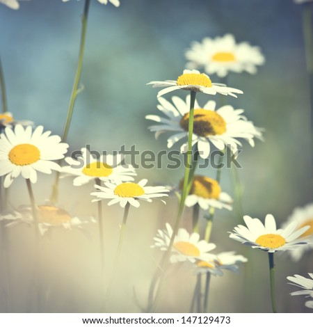 vintage daisy flowers at sunrise - stock photo