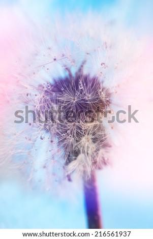 Vintage dandelion in soft focus - stock photo