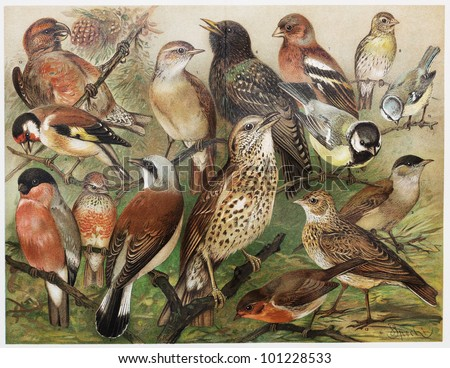 Vintage drawing representing European caged birds at the end of 19th century - Picture from Meyers Lexicon books collection (written in German language) published in 1908, Germany. - stock photo