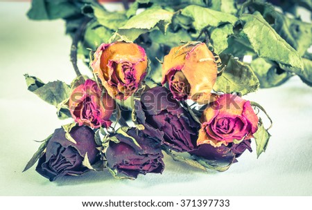 Vintage Fading rose, Dead rose,fade Roses and .withered rose - stock photo