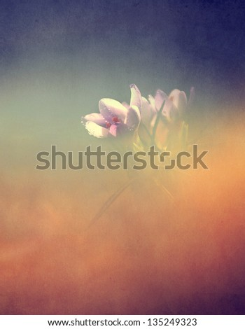 Vintage flower. Photo of beautiful crocus flower with grunge old paper texture. - stock photo