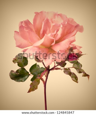 Vintage garden pink rose with soft focus - stock photo