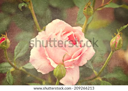 Vintage image of pink garden rose - stock photo