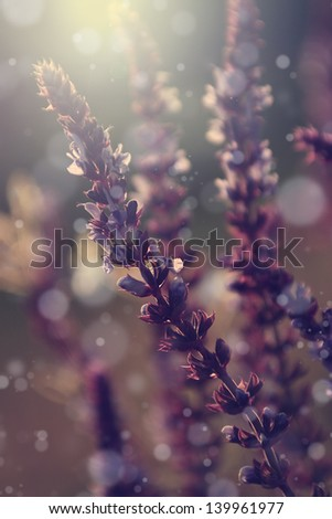 Vintage lavender flowers. - stock photo