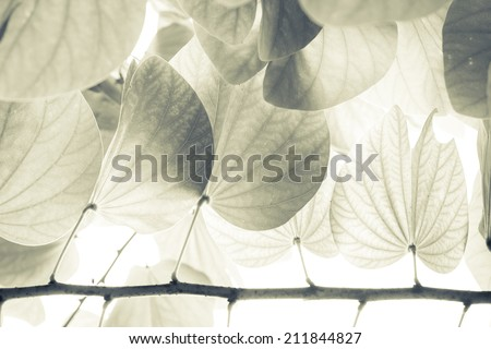 Vintage leaves of Snow orchid tree - stock photo