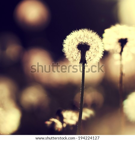 vintage macro dandelion - stock photo