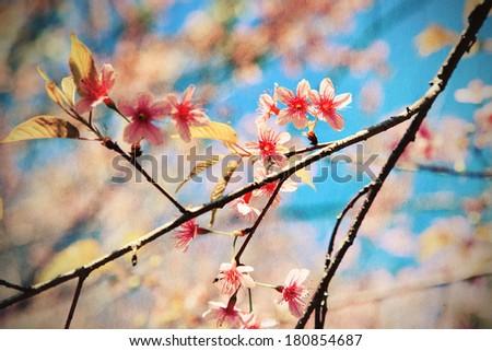 Vintage of pink sakura flower - stock photo