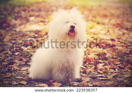 Vintage photo of a Bichon bolognese dog at autumn - stock photo